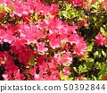 ดอกสีชมพูชวนชม 50392844