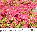 ดอกสีชมพูชวนชม 50392845