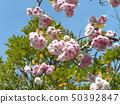 ดอกซากุระ Yae เป็นดอกซากุระบานในช่วงปลาย 50392847