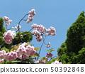 ดอกซากุระ Yae เป็นดอกซากุระบานในช่วงปลาย 50392848