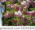 ดอกซากุระ Yae เป็นดอกซากุระบานในช่วงปลาย 50392849