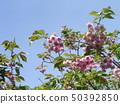 ดอกซากุระ Yae เป็นดอกซากุระบานในช่วงปลาย 50392850