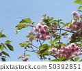 ดอกซากุระ Yae เป็นดอกซากุระบานในช่วงปลาย 50392851