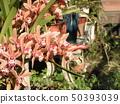 Cinnabom的大粉红色的花 50393039