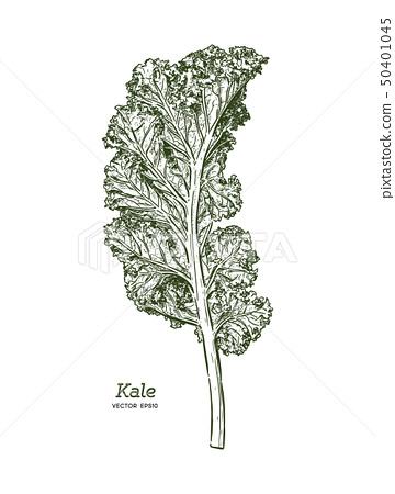 Kale, Hand draw sketch vector. Vegetable. 50401045