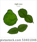 Kaffir Lime, vector. 50401046