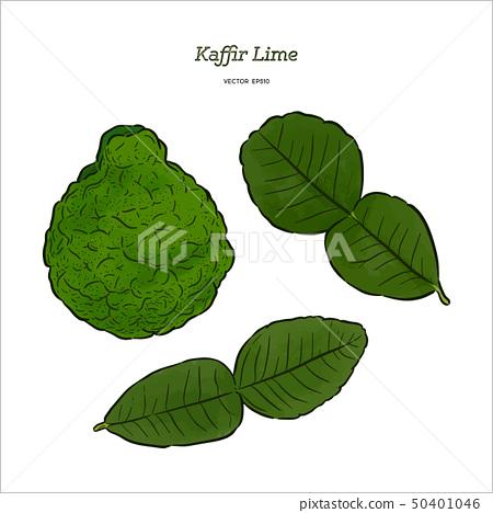 Kaffir Lime, vector. 50401046