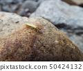 綠色石斑魚 50424132