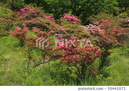 雲仙高原杜鵑花園GW 50442071
