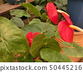 植物园芙蓉 50445216