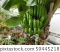 植物园香蕉 50445218