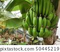 植物园香蕉 50445219