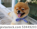 cute pomeranian dog happy smile laying on seat 50449203