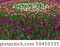Spring fields of blooming tulip. Beauty outdoor 50450335