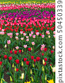 Spring fields of blooming tulip. Beauty outdoor 50450339