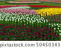 Spring fields of blooming tulip. Beauty outdoor 50450343
