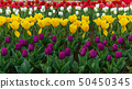 Spring fields of blooming tulip. Beauty outdoor 50450345