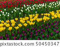 Spring fields of blooming tulip. Beauty outdoor 50450347
