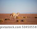 Camel 50450558