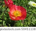 Iceland Poppy red flower 50451138
