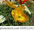 Iceland Poppy's orange flower 50451141