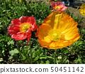 Iceland Poppy's orange flower 50451142