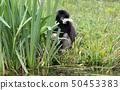 Adult white handed gibbon 50453383