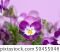 비올라 꽃 50455046