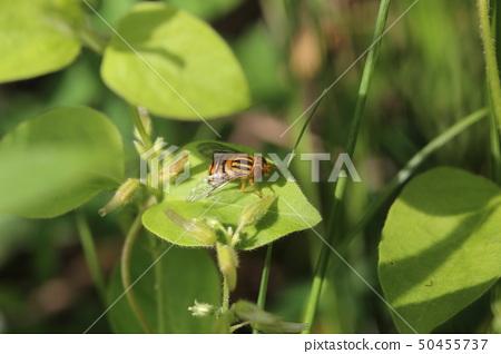 Black-crested buttohanabu 50455737