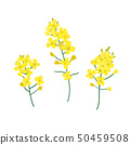 Brassica napus, rapeseed, colza, oil seed, canola vector illustration. The concept of rapeseed oil 50459508
