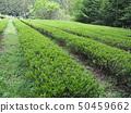 Fresh green tea plantation 50459662