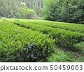Fresh green tea plantation 50459663