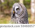 The beautiful great grey owl posing and facing 50460057
