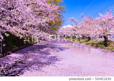 弘前城櫻花節 50461830