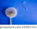 Dandelion flowers on blue background 50462141
