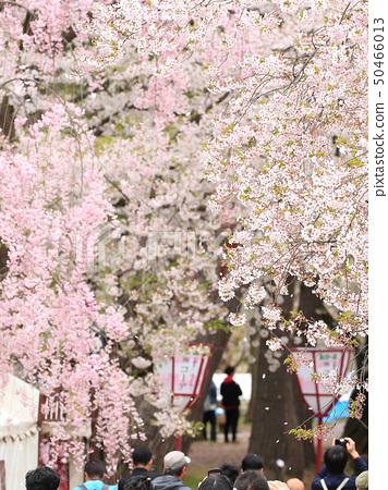 히로사키 벚꽃 축제 인파 풍경 50466013