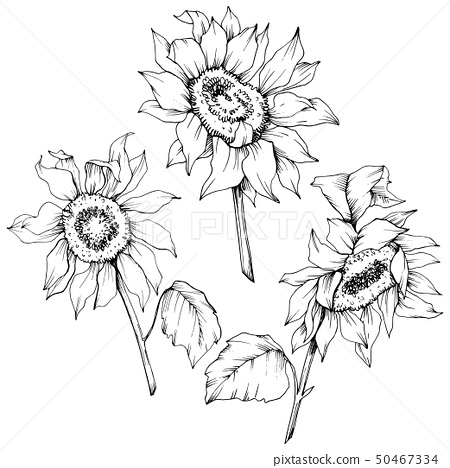 Vector Sunflower floral botanical flowers. Black and white engraved ink art. Isolated sunflower 50467334