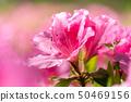 Azaleas in full bloom 50469156