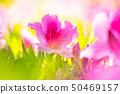 Azaleas in full bloom 50469157