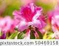 Azaleas in full bloom 50469158