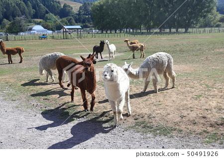 羊驼 50491926