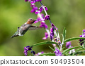 Anna's Hummingbird in Flight with Purple Flowers 50493504
