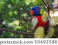 A Colorful Rainbow Lorikeet Bird in a Tree 50493586