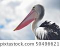 Great white pelican 50496621