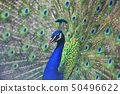 Close up portrait of an adult male peacock showing 50496622