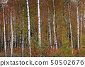 Birches in yellow autumn birch forest in october among other birches in birch grove 50502676