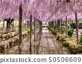 ดอกไม้สีม่วงอ่อนสะท้อน wisteria 50506609
