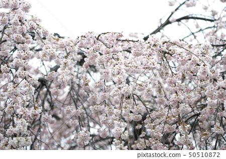 벚꽃 만개 50510872