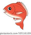 鯛紅鯛魚 50516109