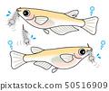 Bare-headed male and female medakafish Mosquitolarvae 50516909